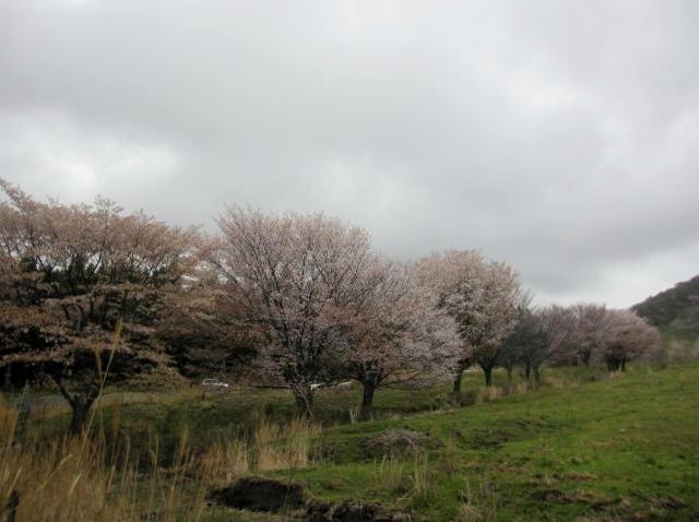 鍋の平、桜1