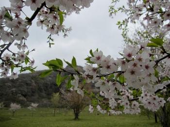 鍋の平、桜2
