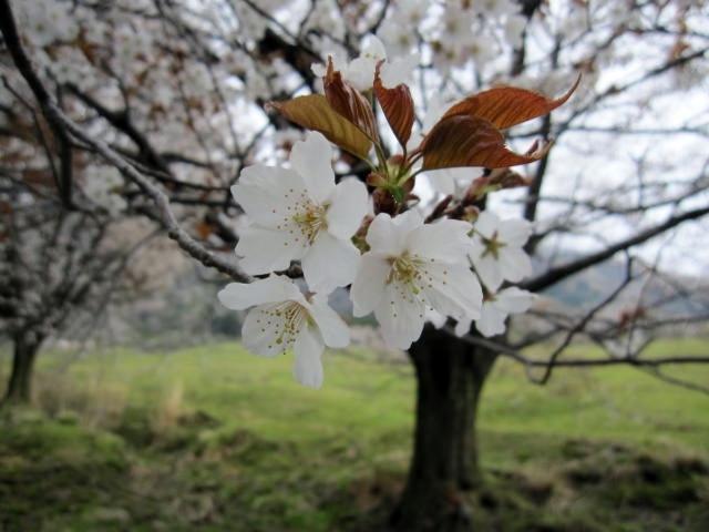 鍋の平、桜3
